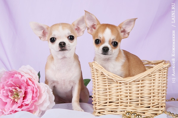 Chef cook chihuahua dog with a food bowl holding a cooking spoon in mouth isolated on white backgro
